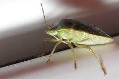 Green Stink Bug (Acrosternum hilare)