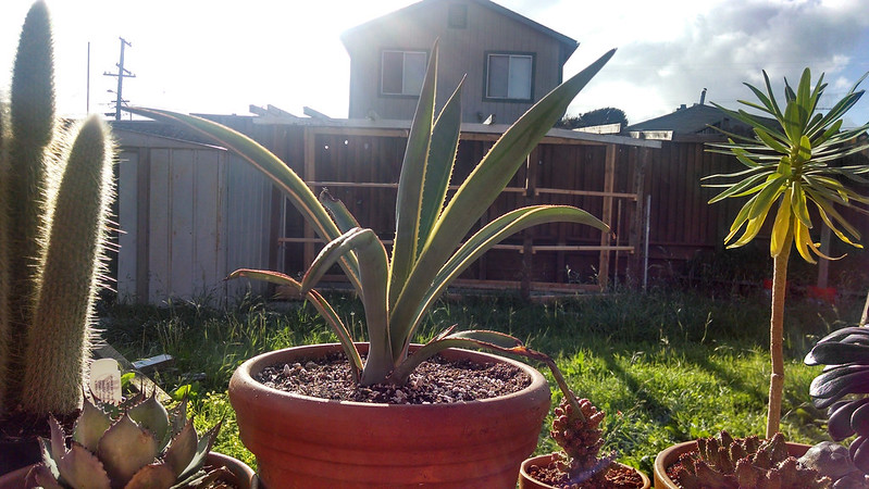 Agave tequilana 'Sunrise', Agave parryi var. huachucensis, Cleistocactus tupizensis