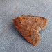 Small photo of Chestnut . Conistra vaccinii