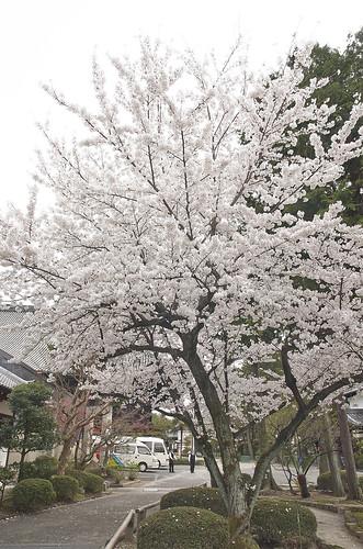 【写真】2014 桜 : 知恩寺/2020-11-13/IMGP5712