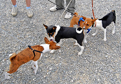 hound(0.0), brazilian terrier(0.0), street dog(0.0), dog breed(1.0), animal(1.0), danish swedish farmdog(1.0), dog(1.0), pet(1.0), mammal(1.0), toy fox terrier(1.0), basenji(1.0), terrier(1.0),