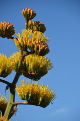 American Agave Plant