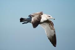 Gull starboard fore DSC_0359