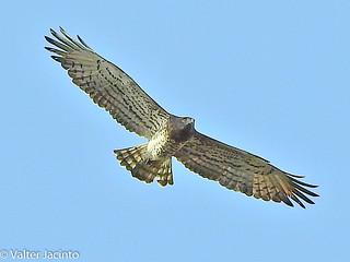 Águia-cobreia // Short-toed Snake Eagle (Circaetus gallicus)