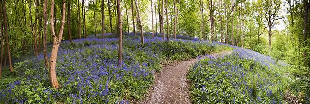 Hole Park Bluebells, by Mat