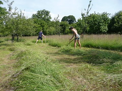 cutting orchard grass with scythes