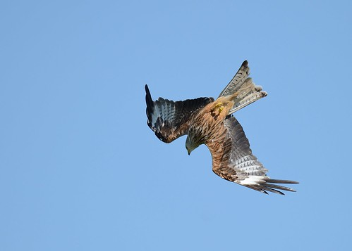 Red Kite - The Diving Roll by Andy Pritchard - Barrowford