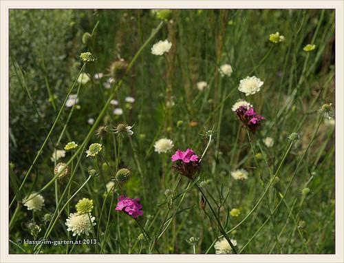 Sichtungsgarten Koenigshof- wildstauden versuchspflanzung | 2011-07, 2012-08