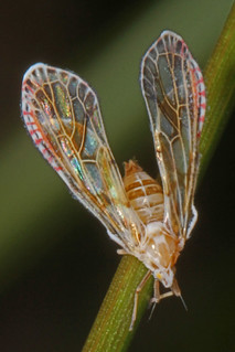 Derbid Planthopper - Anotia bonnetii, Merrimac Farm Wildlife Management Area, Aden, Virginia