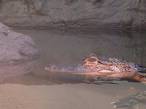 ZooAmerica Alligator
