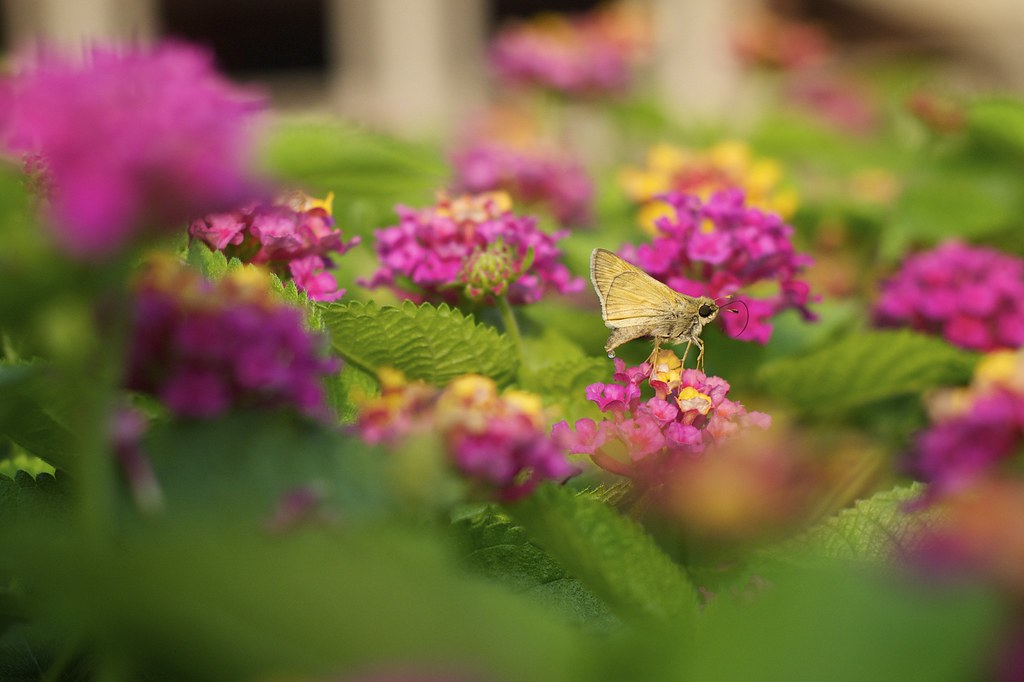 Moth on Flowers
