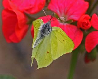 Butterfly Brimstone Gonepteryx rhamni in flight shot Biddulph  Staffs  25/08/13