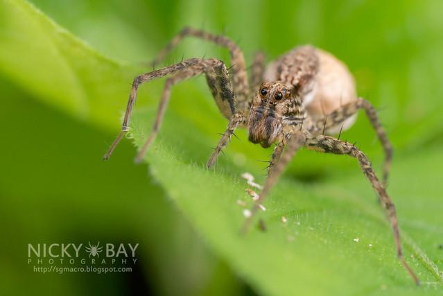 Wolf Spider (Lycosidae) - DSC_2951