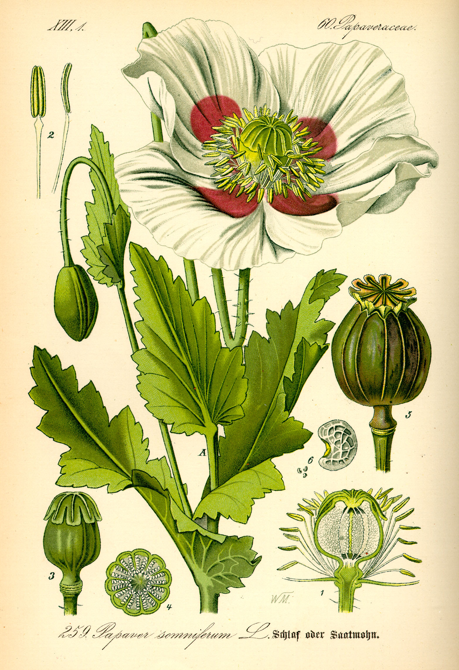 opium poppy papaver somniferum botanical drawing