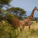 IMG_9814 Reticulated giraffe Meru National Park Kenya