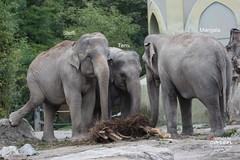 Elefantenjunge Ludwig und Elefantenkuh Panang
