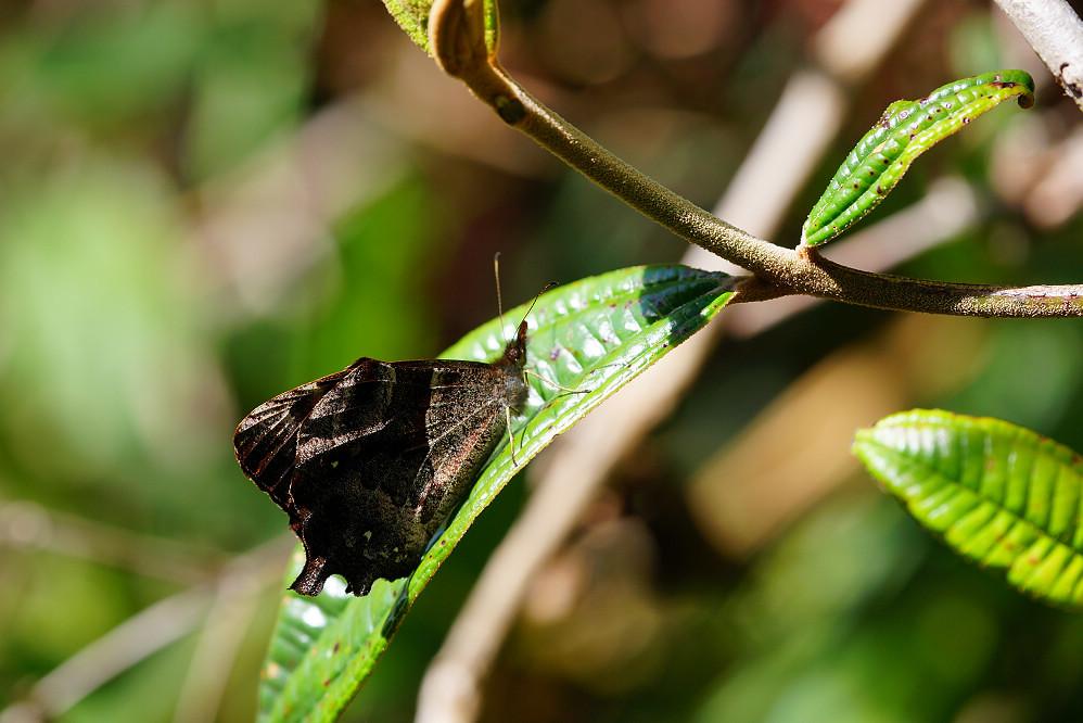 南美蛺蝶 -5
