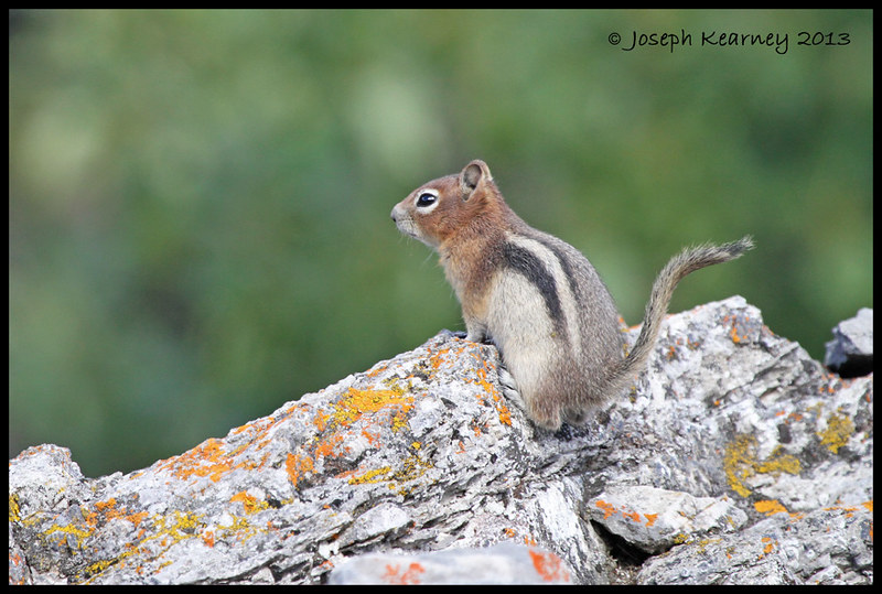 Golden Mantled Ground Squirrel by JosephK2012