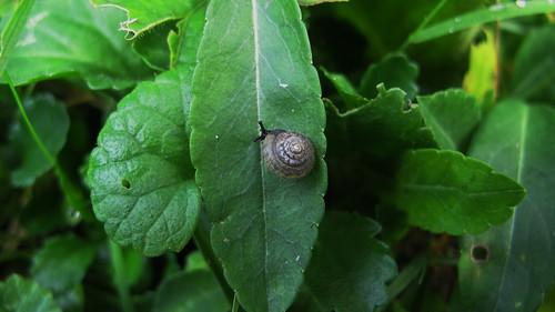 Trochulus hispidus - hairy snail - Gemeine Haarschnecke - veloutée commune (juvenile 1 cm)
