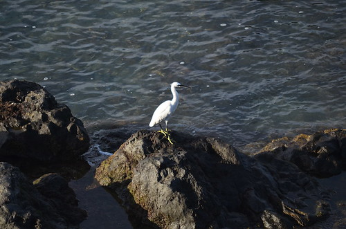 Little Egret, Tenerife