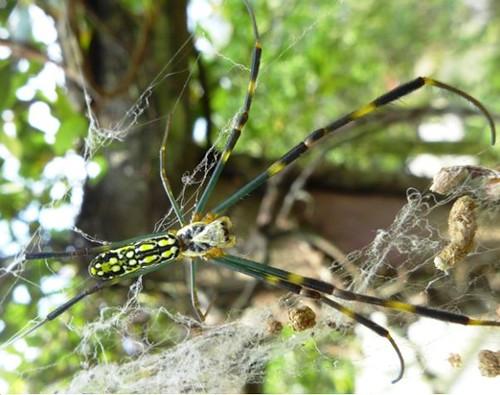 圖為一種常腳蛛科的蜘蛛,會結網捕食獵物。(林育綺攝)