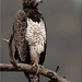 Martial Eagle (adult)  ~ Samburu Kenya ~ By Chris by Chris(C) & Sue (S) M-T