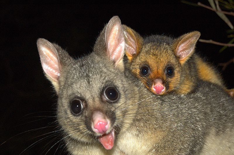 possums_mother_and_child-5