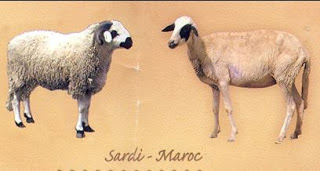La race Sardi