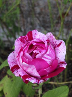 Rose, Dromoland Castle