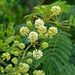 Small photo of River Climbing Thorn (Acacia schweinfurthii) flowers