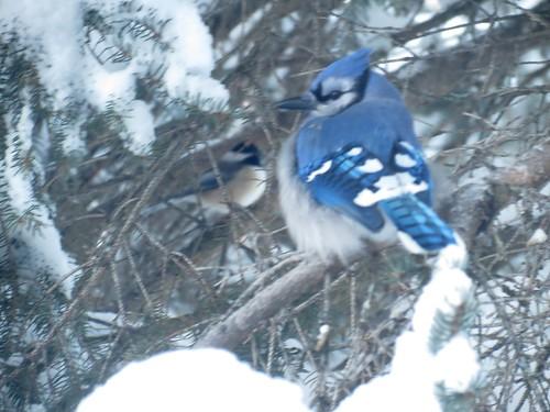 Geai bleu - Blue Jay  Entre-Lacs  Déc 2013   117 by Diane G.