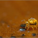 Globular Springtail - Sminthurinus aureus by Ed Phillips 01
