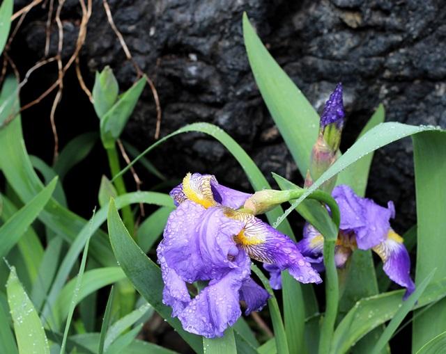 blue orchids after rain