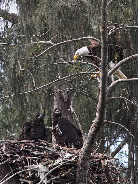 Bald Eaglets with male parent 20140314
