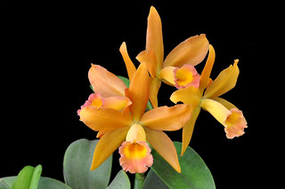 Blc. Nobile's Honey