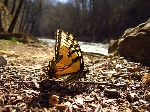 A Model Butterfly