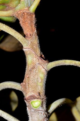 Ficus pleurocarpa DSC_0369 (20)