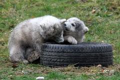 Eisbärenzwillinge und Erfahrung mit dem Reifen
