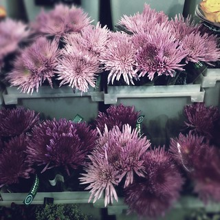 Purple Spider Mums at Whole Foods