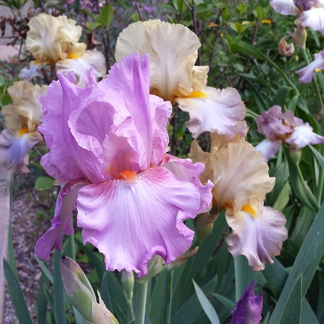 Love my irises