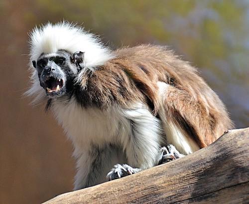 mammal monkey texas primate brownsville tamarin cottontoptamarin gladysporterzoo saguinusoedipus nikond7000 nikkor18to200mmvrlens