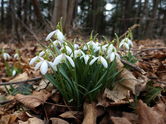 erythronium(0.0), garden(0.0), woodland(1.0), flower(1.0), plant(1.0), galanthus nivalis(1.0), wildflower(1.0), flora(1.0),