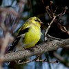PerchedAmericanGoldFinch by d_puri