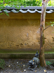 沙羅の花を愛でる会 - 妙心寺 東林院 / Myoshin-ji Temple