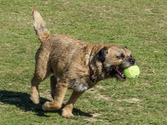 dog breed, animal, dog, pet, border terrier, carnivoran, terrier,
