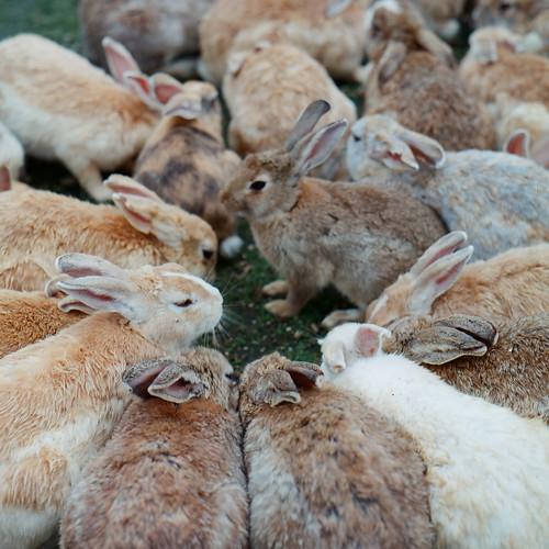 密集するウサギ
