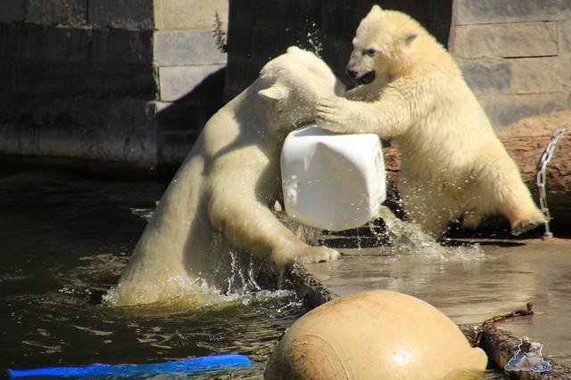 Eisbär Fiete im Zoo Rostock 11.07.2015  044