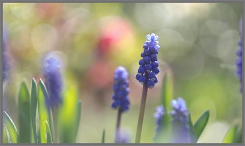 Blauw druifje (Muscari botryoides)