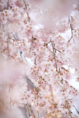 地蔵院枝垂れ桜 20170327-IMG_9028-1