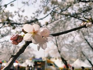 자기 전에 한 장 더 #벚꽃 #cherryblossom #꽃 #flower #꽃스타그램